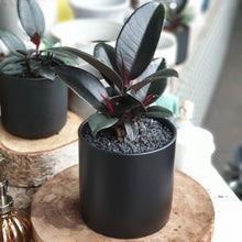 Load image into Gallery viewer, Rubber Plant(Ficus Elastica-Burgundy)
