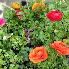 Load image into Gallery viewer, Ranunculus(12cm pot)