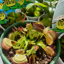 Load image into Gallery viewer, Venus Fly Trap(Carnivorous Plant)