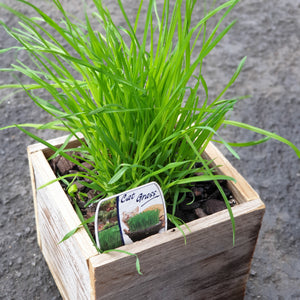 Catgrass rustic planter set