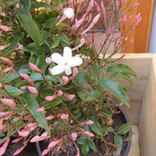 Load image into Gallery viewer, Jasminum Polyanthum (Common Jasmine)
