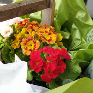 Double Primula Rustic Flower box