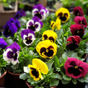 Edible flowers(Viola/Pansy/French Marigold)