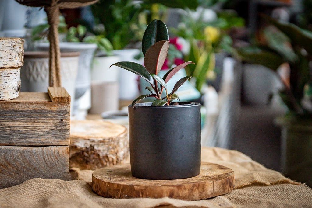 Rubber plant gift set