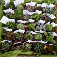 Load image into Gallery viewer, Succulents gift/  event set(quote only)