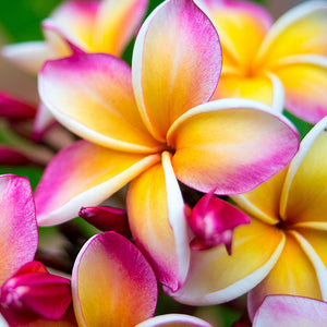 Load image into Gallery viewer, Plumeria