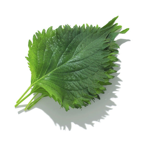 Shiso leaves 100pcs 日本大葉(青紫蘇)