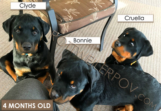 funny rottweiler puppies sitting with crazy wide eyed expression of alarm