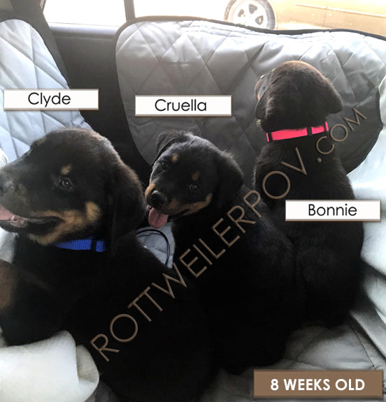 three rottweiler puppies sitting in the back seat of a car smiling at the camera