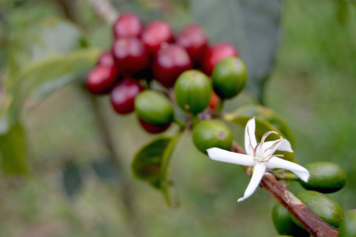 Sustainable Coffee Sourcing