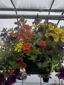 Million Bells (calibrachoa) - 10 inch hanging basket - Purple, Orange, and Yellow