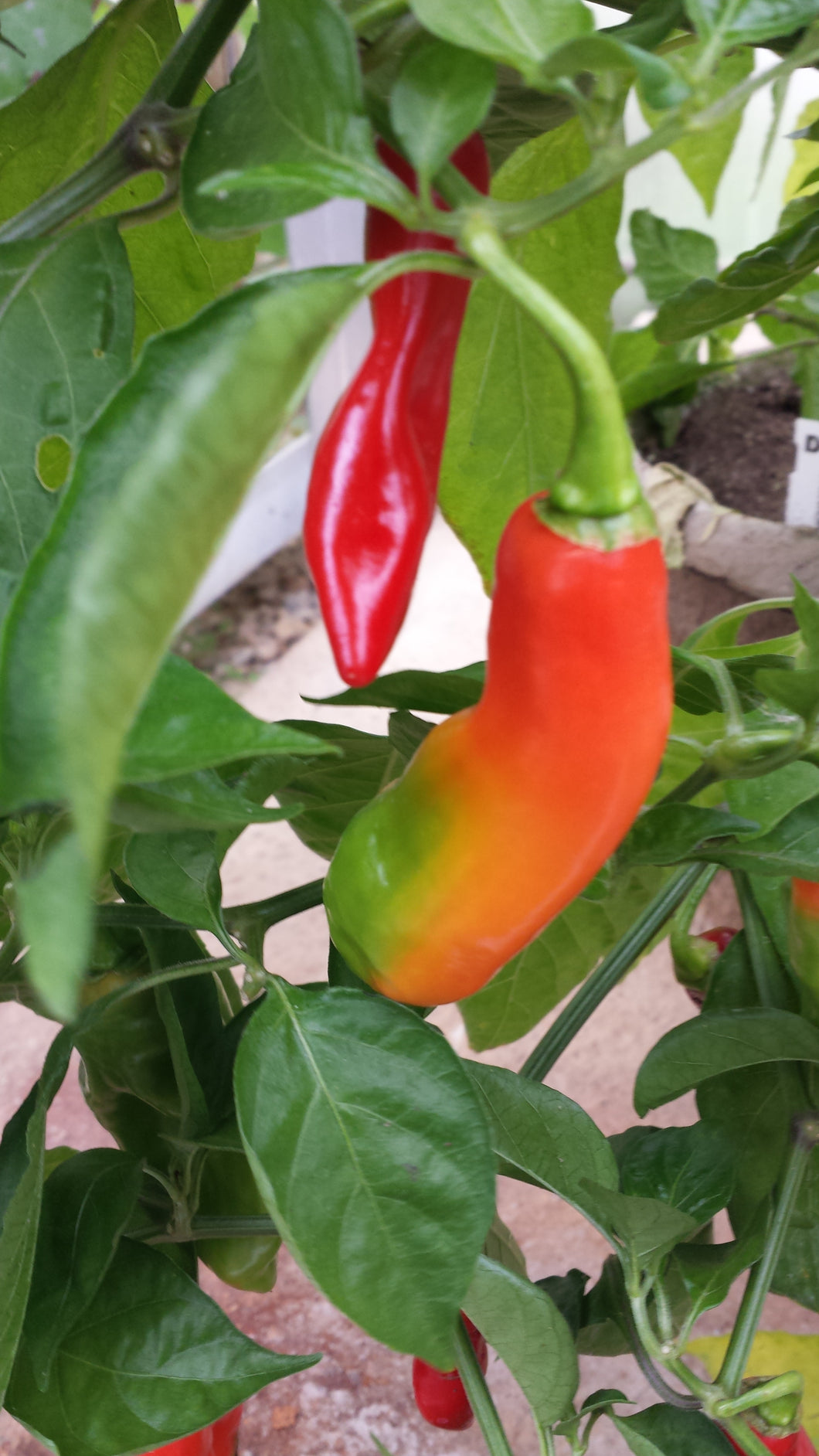 West Indian Pimento Pepper