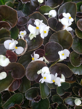 Load image into Gallery viewer, Fibrous Begonias - various colours