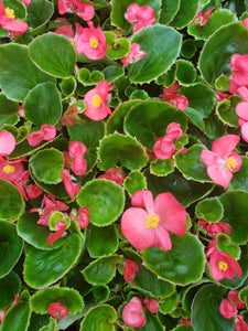 Fibrous Begonias - various colours