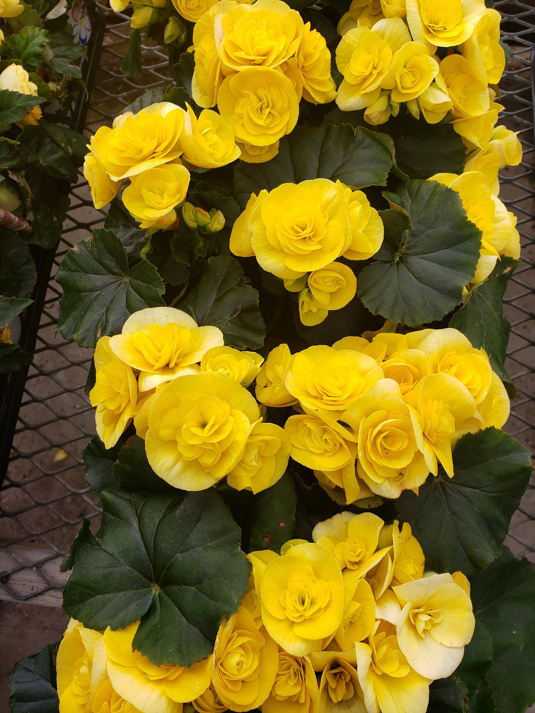 Rieger Begonia - 4 inch pot - yellow