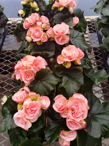 Rieger Begonia - 4 inch pot - light pink