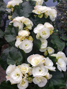 Rieger Begonia - 4 inch pot - white