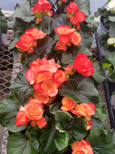 Rieger Begonia - 4 inch pot - coral