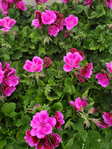 Martha Washington geranium (Regal) - 5 inch pot - Pink