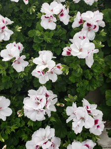 Martha Washington geranium (Regal) - 5 inch pot - white with burgundy centre