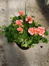 "Load image into Gallery viewer, Geranium deck pot with ivy - 12"" - Salmon"