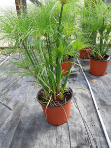 "Annual Grass - 12"" pot - 'Prince Tut'"