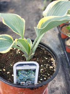 "Hosta - 6"" pot - various kinds"