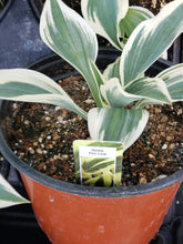 "Load image into Gallery viewer, Hosta - 6"" pot - various kinds"