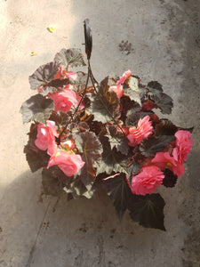 Tuberous Begonia - 10 inch hanging basket - various colours