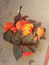 Load image into Gallery viewer, Tuberous Begonia - 10 inch hanging basket - various colours