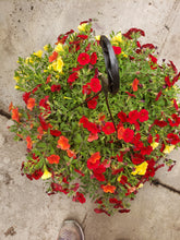 Load image into Gallery viewer, Million Bells (calibrachoa) - 10 inch hanging basket - Red, Orange, and Yellow