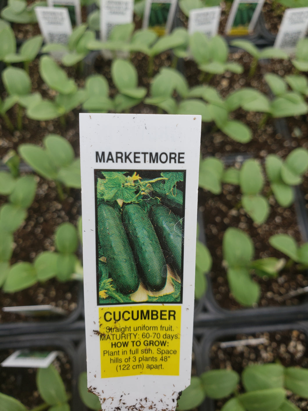 Cucumbers - Marketmore
