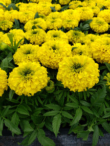 Marigold - ('Discovery Yellow') - big head variety
