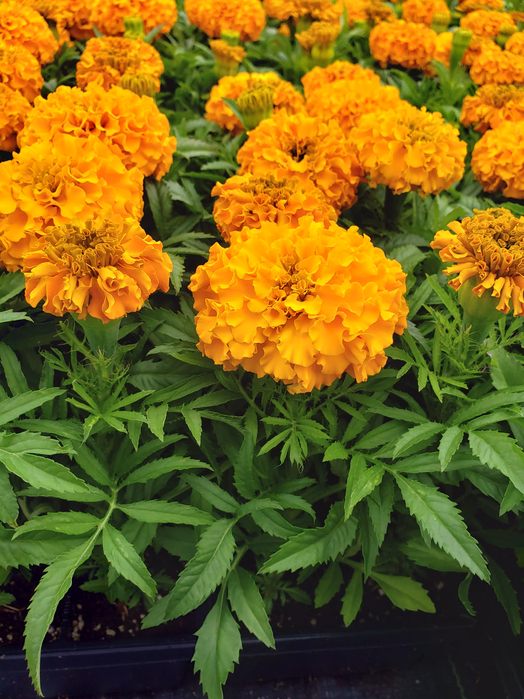 Marigold - ('Discovery Orange') - big head variety