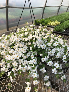 Bacopa - 10 inch hanging basket - White