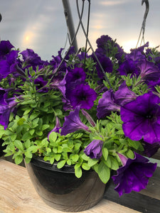 Wave Petunia - 10 inch hanging basket - Blue