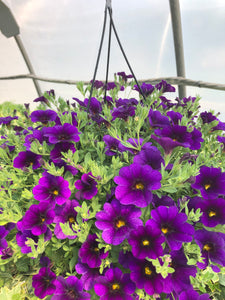 Million Bells (calibrachoa) - 10 inch hanging basket - Deep Purple