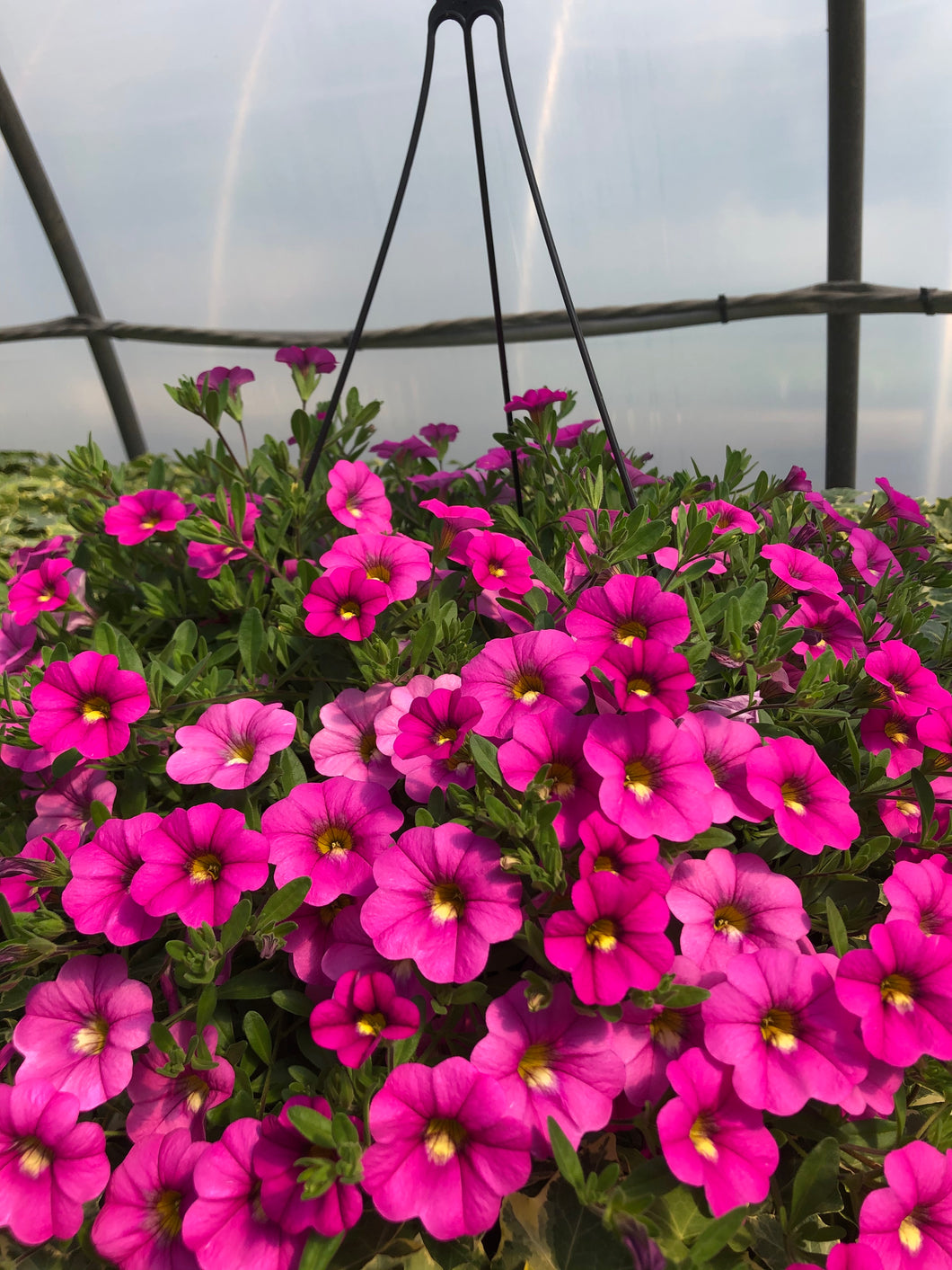 Million Bells (calibrachoa) - 10 inch hanging basket - Hot Pink