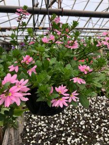 Scaevola (Fan Flower) 10 inch hanging baskets - Pink