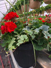 "Load image into Gallery viewer, Geranium deck pot with ivy - 12"" - Red"