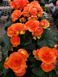 Rieger Begonia - 4 inch pot - orange