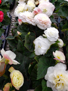 Tuberous Begonia - 4 inch pot - white with green leaf