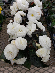 Tuberous Begonia - 4 inch pot - white with dark leaf