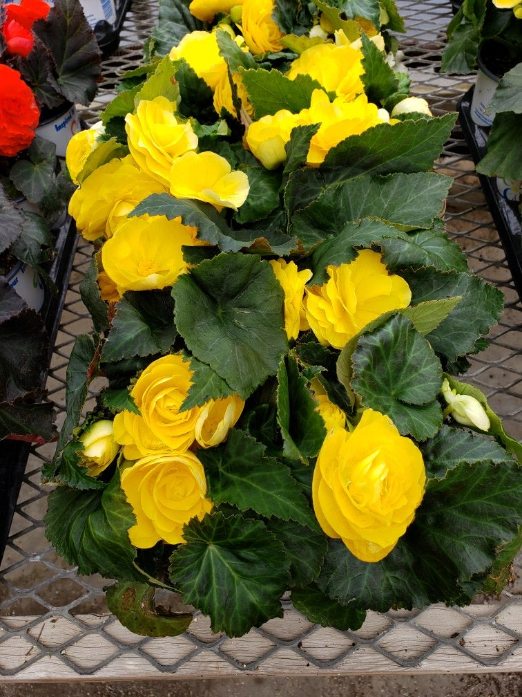 Tuberous Begonia - 4 inch pot - yellow