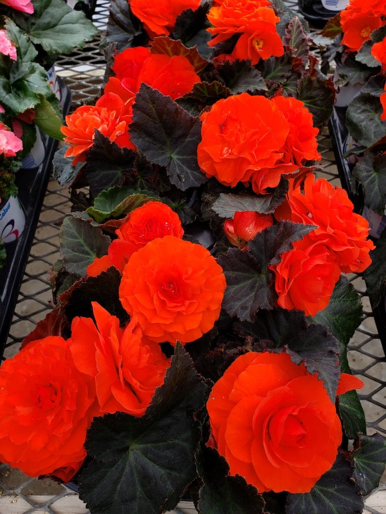 Tuberous Begonia - 4 inch pot - orange