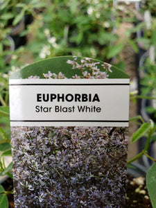 Euphorbia - 4 inch pot - Star Blast White