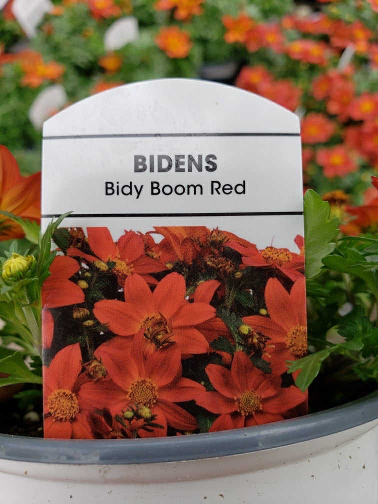 Bidens - 4 inch pot - Bidy Boom Red