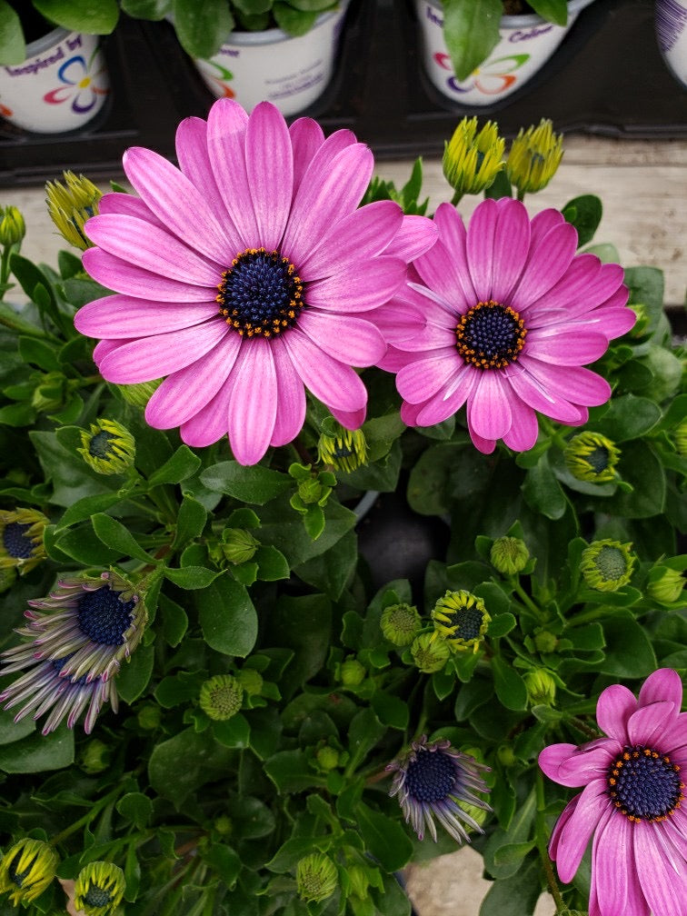 African Daisies (Osteospermum) - 4 inch pot - light purple