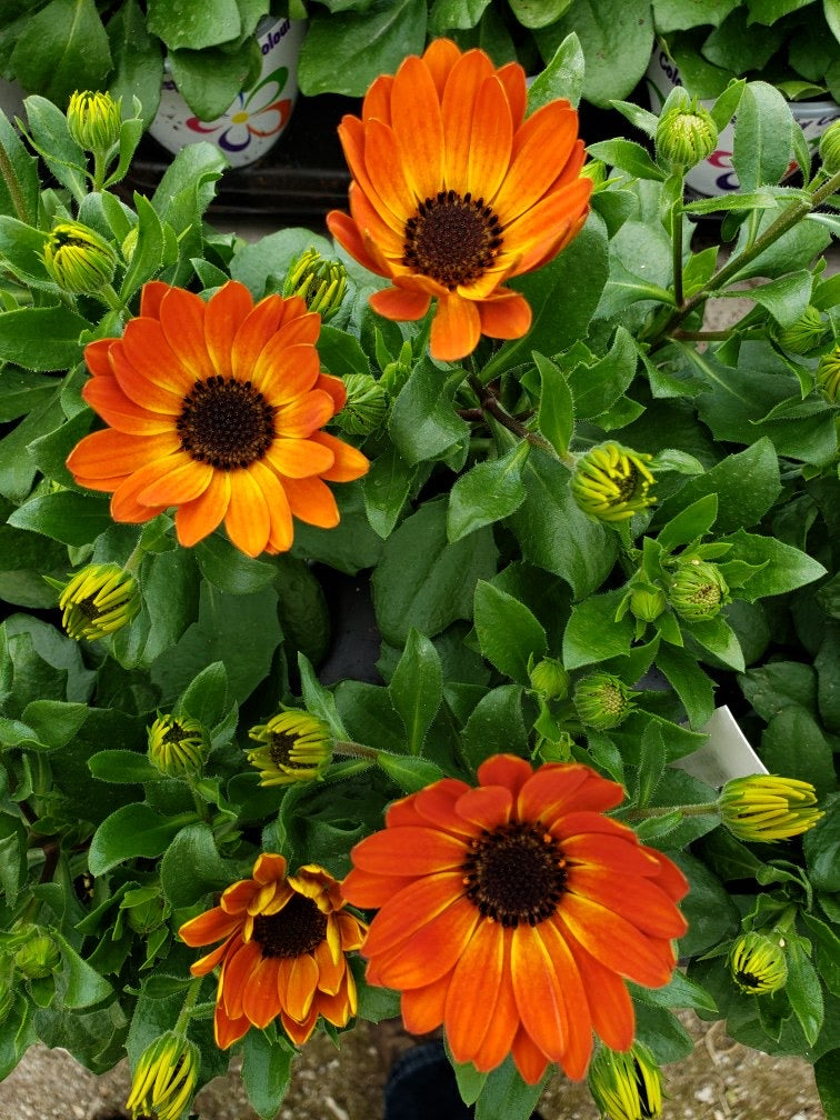 African Daisies (Osteospermum) - 4 inch pot - orange