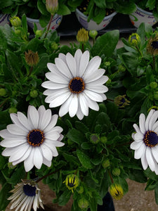 African Daisies (Osteospermum) - 4 inch pot - white with purple centre